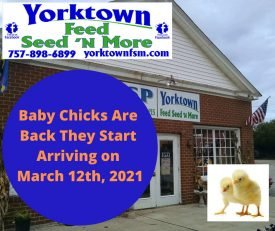 Baby Chicks arrive on March 12th at Yorktown Feed Seed 'N More